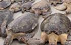 美国天气极寒 海龟被冻僵