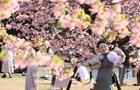 日本东京樱花肆意绽放
