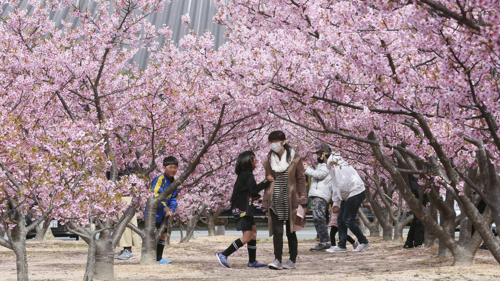 美如画卷!日本山口县樱花盛开