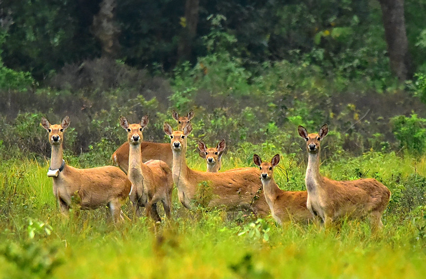 海南坡鹿劫难重生 种群呈恢复性增长态势