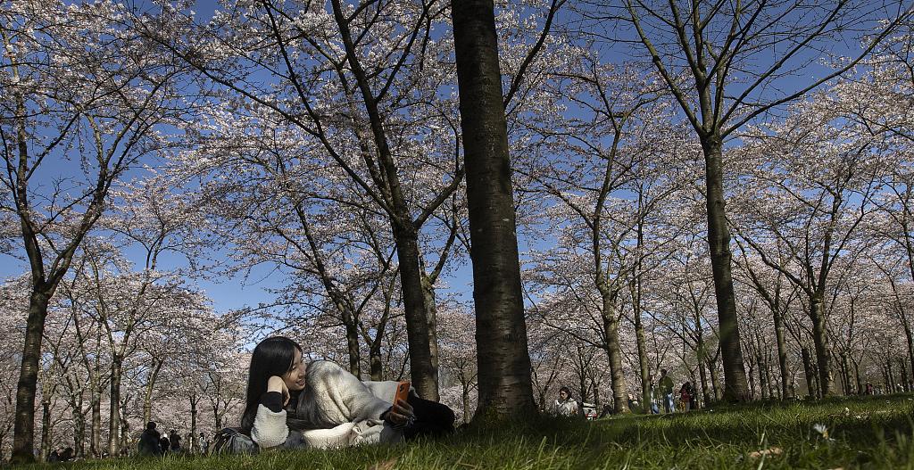 荷兰樱花绽放 民众纷纷外出踏春