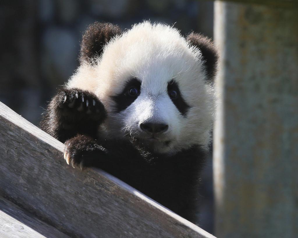 """日本大熊猫宝宝""""枫滨""""亮相 晒日光浴太萌了!"""