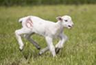 土耳其小羊羔六条腿跑动
