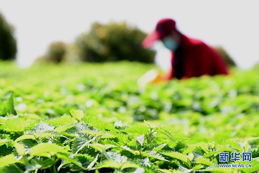 河南济源:冬凌草种植助农增收
