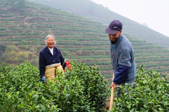 茶园不仅解决了400余名的贫困户就业,还实现了年人均增收3000元以上的目标