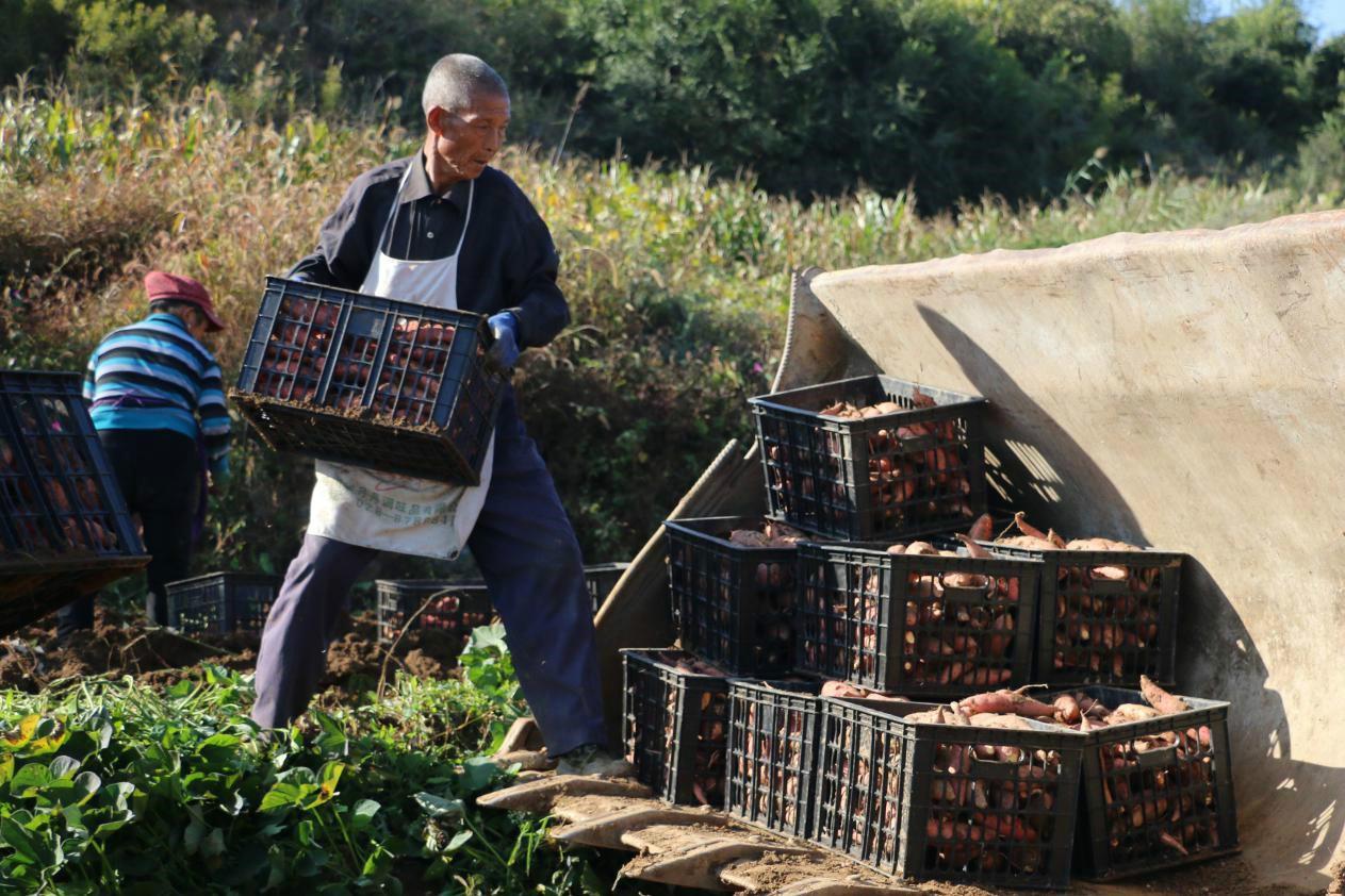 当地村民正在将红薯装箱
