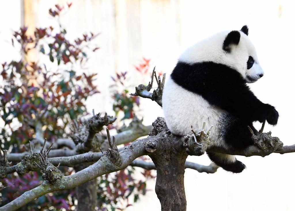 """旅荷大熊猫""""梵星""""满周岁 憨态可掬太萌了!"""