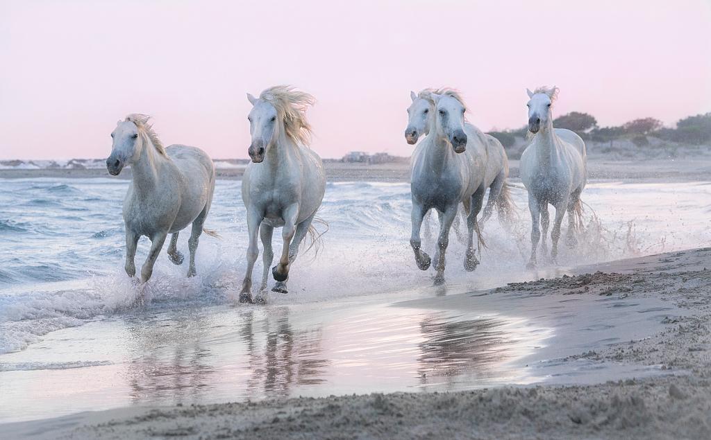 法国:踏浪而来!白马湿地奔跑尽显不羁气质