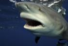 潜水员近距离拍摄鲨鱼