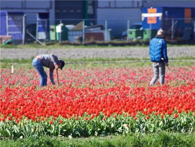 荷兰准备提前收割郁金香