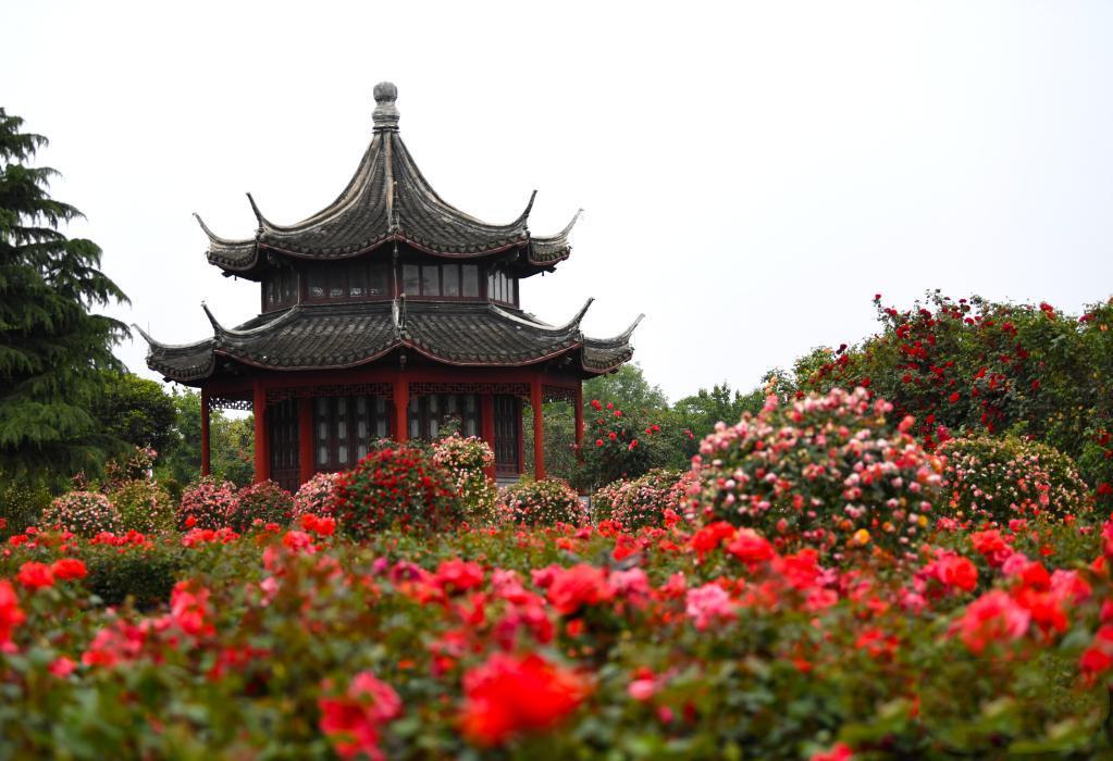 月季花开 飘香南阳