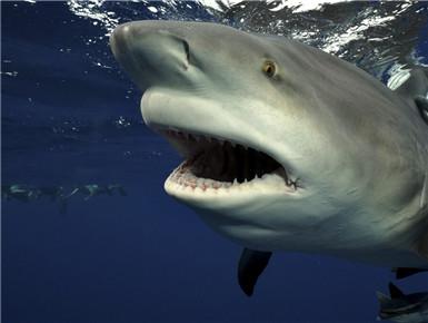 美国:潜水员近距离拍摄鲨鱼 体型庞大牙齿锋利无比