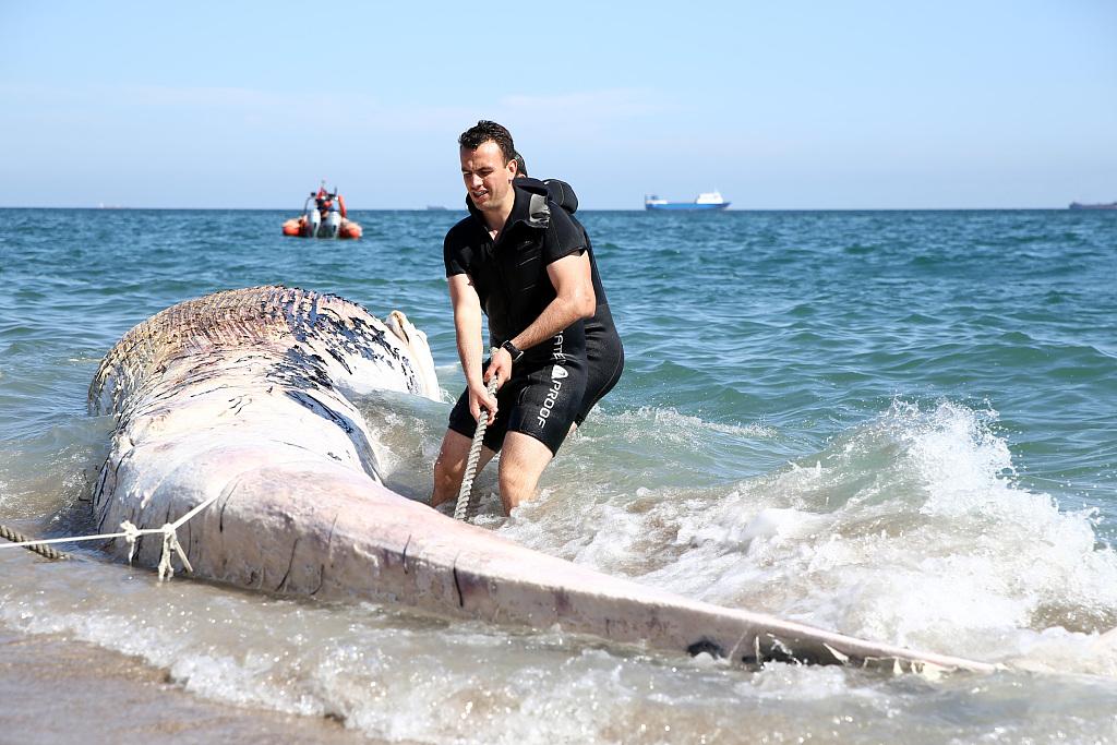 14米长鲸鱼搁浅土耳其海岸