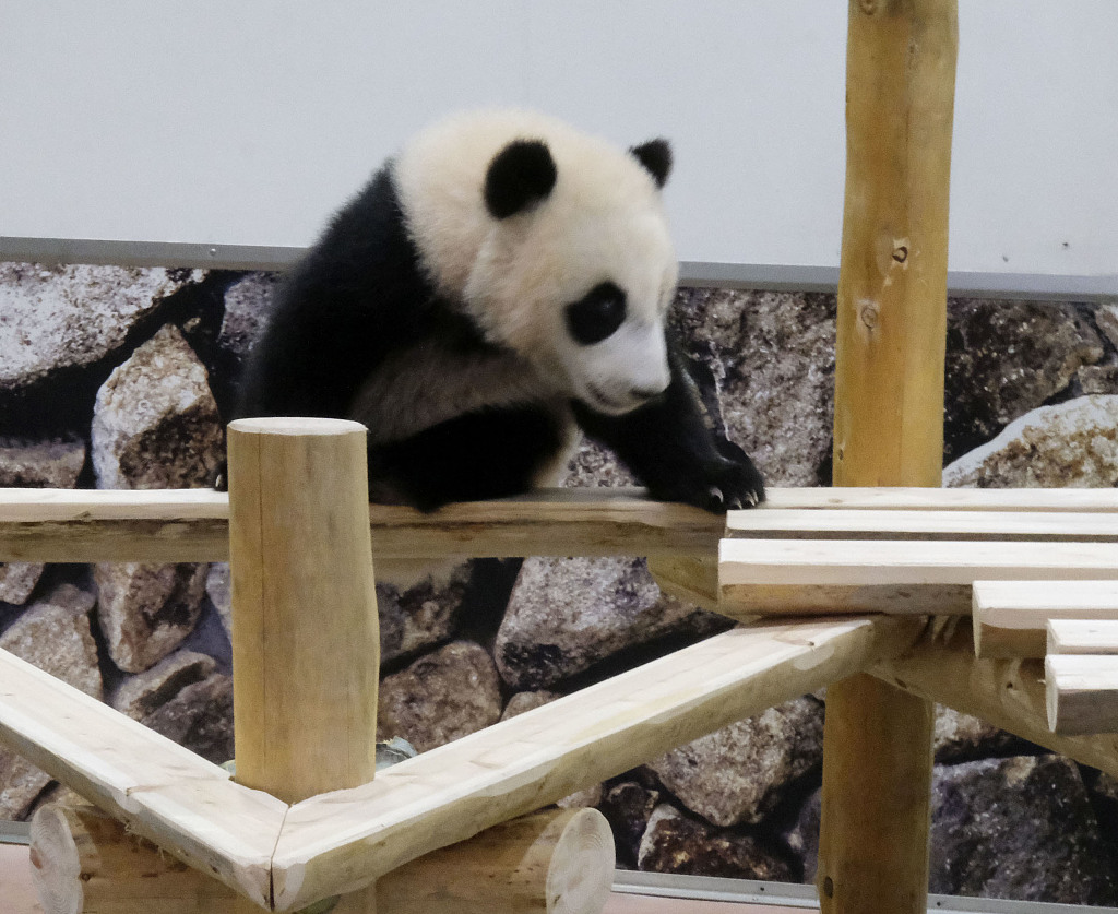 旅日小熊猫幼崽户外玩耍 调皮宝宝上线萌化人