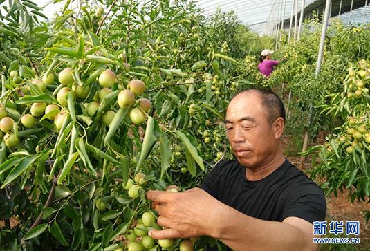 河北黄骅:错季冬枣种植开辟增收新路径