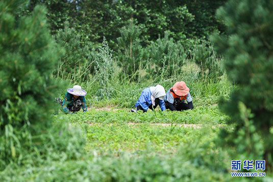 中草药种植助力乡村振兴