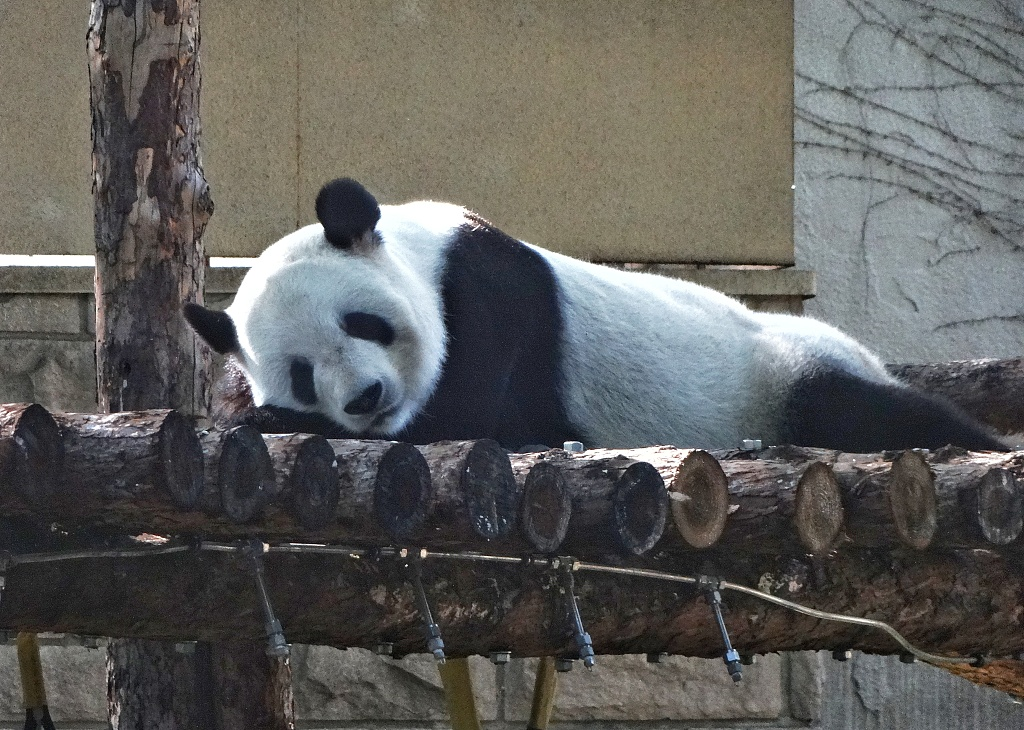 北京动物园大熊猫萌态十足惹人爱