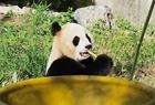大熊猫萌态十足惹人爱