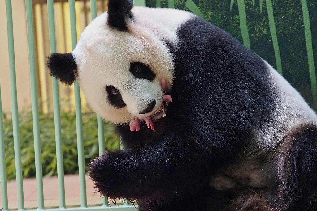"""中国旅法大熊猫""""欢欢""""成功诞下双胞胎 熊猫幼崽健康状况良好"""