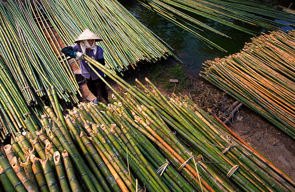 风摇青玉枝!越南迎来竹子收获季 长长竹竿带来丰收喜悦