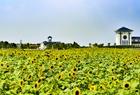 日照百亩向日葵花开正旺