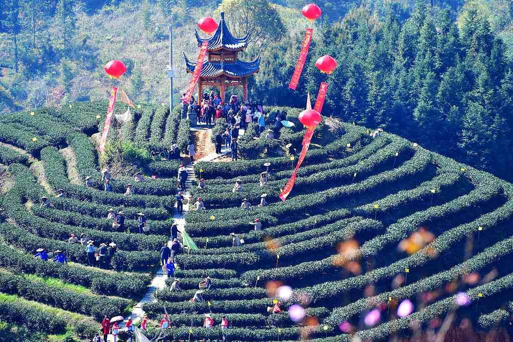 """""""中国白茶之乡""""福建政和举行白茶开茶节"""
