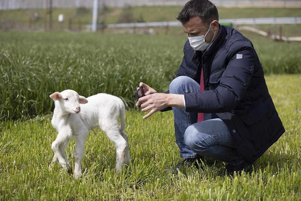 土耳其小羊羔天生长有六条腿 正常走动健康成长