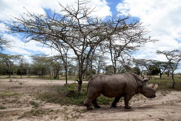 世界上最后一头雄性北方白犀牛去世 仅剩两头雌性
