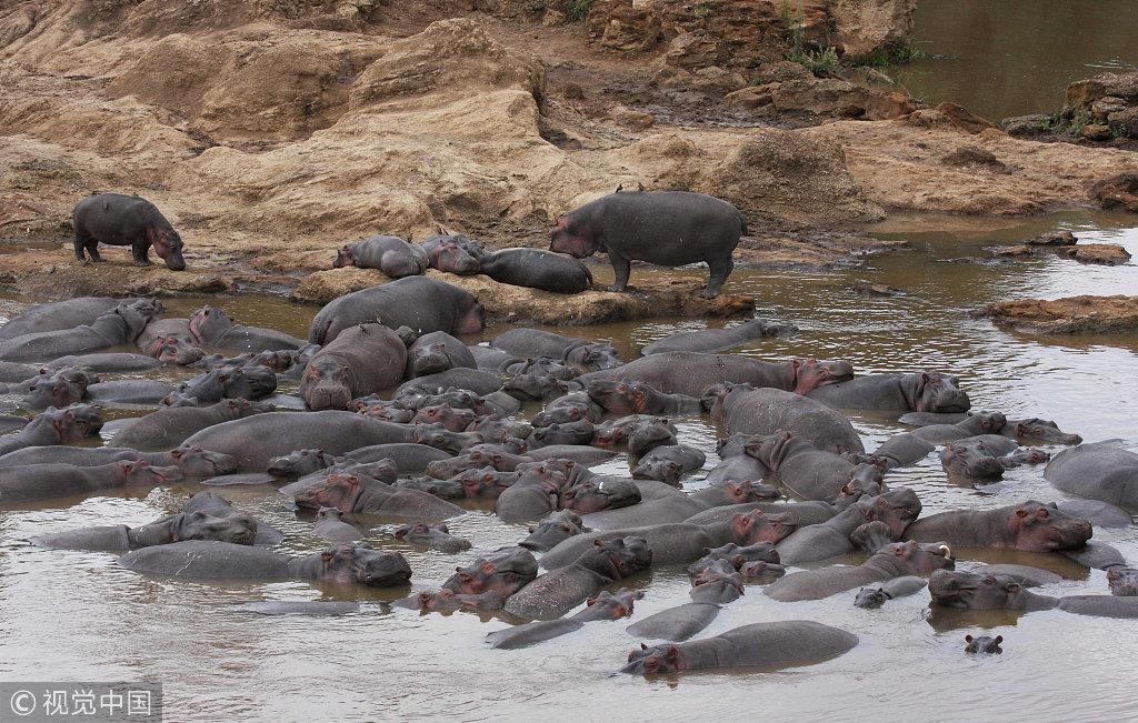 肯尼亚河马群