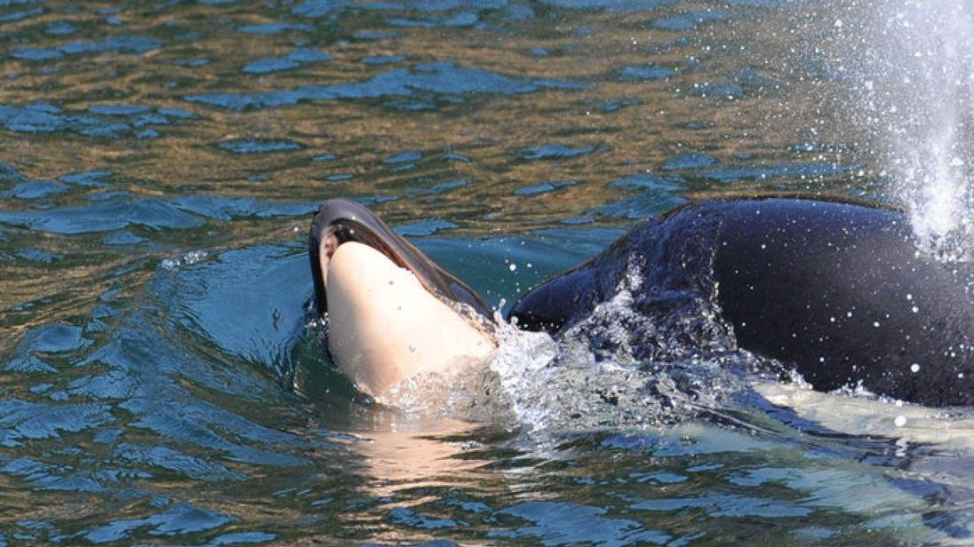 虎鲸妈妈托着夭折宝宝同游17天之后 终于放手了