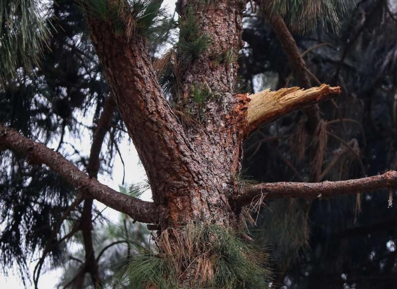 旧金山市政府公园里的松树(旧金山纪事报)