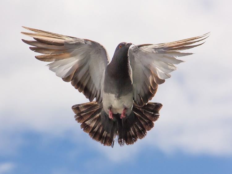 全球最贵信鸽天价售出 神秘中国买家超952万购入