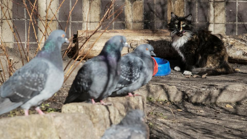 一只猫正看着一群鸽子从它的碗里吃东西。(路透社)
