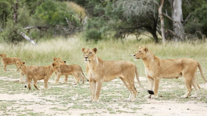 克鲁格国家公园里的狮子(路透社)