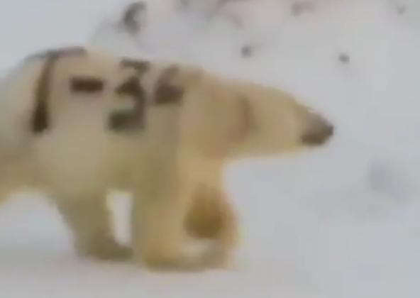 """被""""赐字""""的北极熊(图源:俄新社)"""