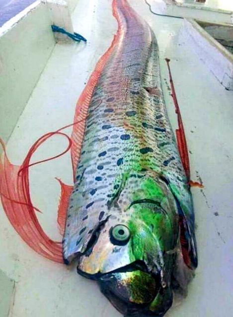 印尼渔民捕捞到的深海鱼(朝日新闻)