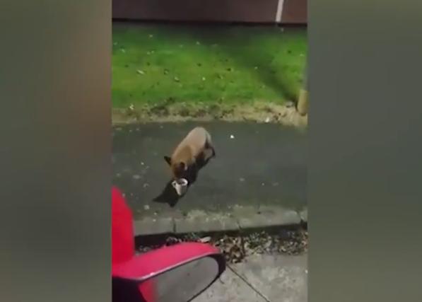 英国一狐狸偷喝啤酒被驱赶,直接往杯子里撒尿(图)