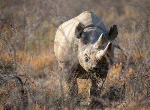 世界最长寿野生黑犀牛福斯塔(图源:CBS)