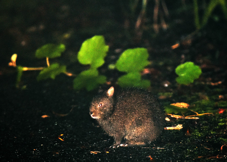 在林道中偶尔出现的琉球兔(每日新闻)