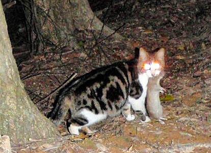 奄美大岛的野猫(朝日新闻)