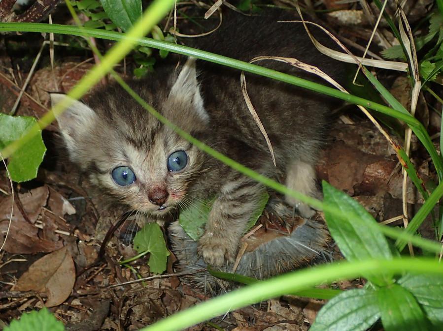奄美大岛上捕食珍稀动物的小野猫(南海日日新闻)