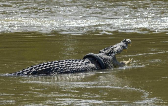 印尼鳄鱼颈部被轮胎套住,呼吸困难
