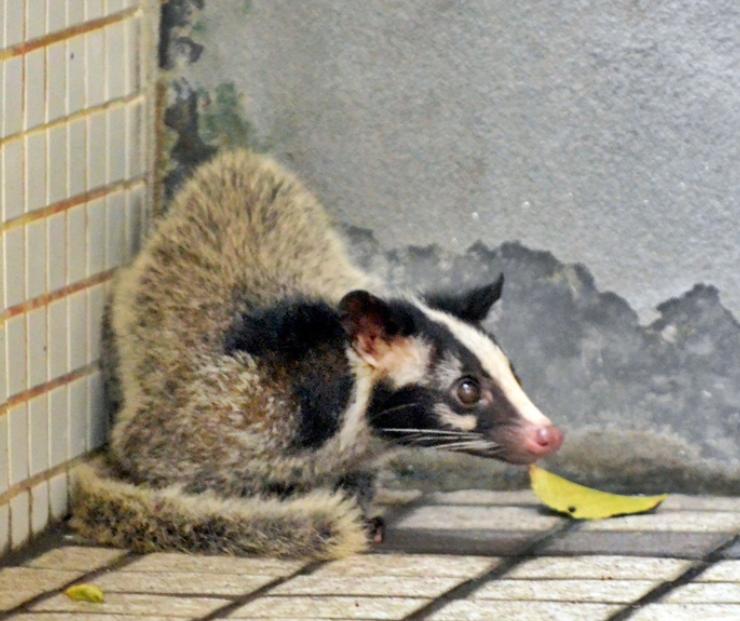 香港一医院疑有果子狸闯入 渔护署职员到场捕获
