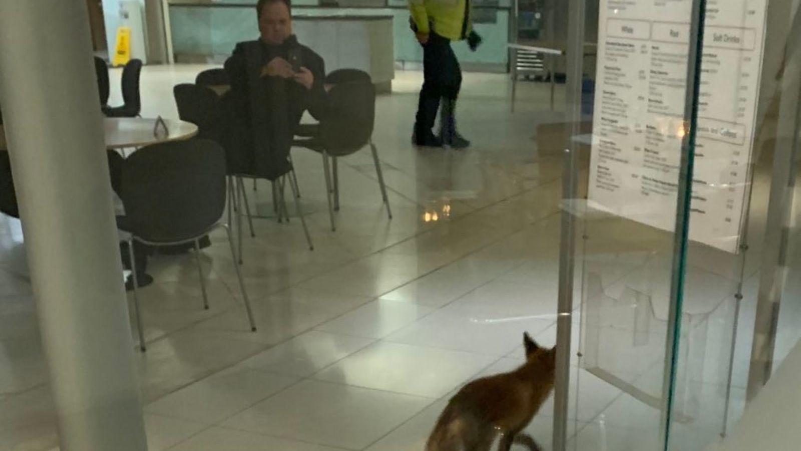 狐狸闯进英国议会大楼 乘自动扶梯跑到四楼才被捕获