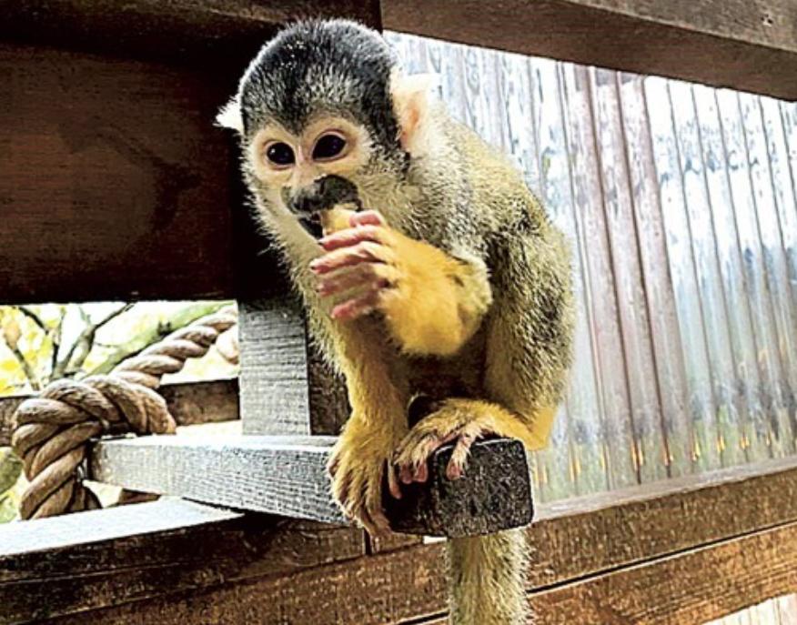 """12只""""人气猴""""接连离奇失踪 日本动物园重金悬赏求破案"""