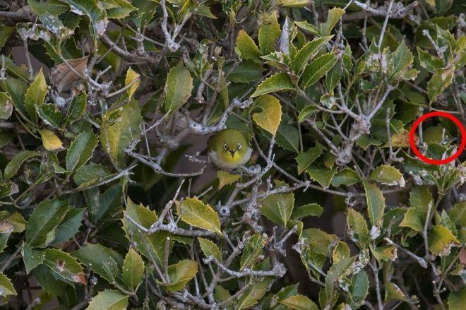 """你能找到第二只吗?日本摄影家拍到""""隐身""""小鸟"""