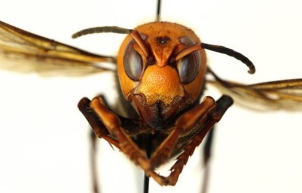 """美国首次发现""""杀手大黄蜂"""" 官员警告:可致命,看到赶紧跑"""