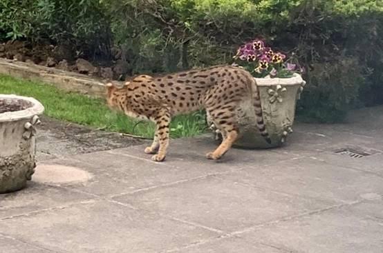 被误认成豹子的萨凡纳宠物猫(美媒截取的视频截图)