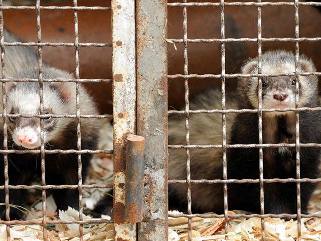 荷兰出现动物传人案例后,10个涉事养殖场将扑杀37.5万只水貂
