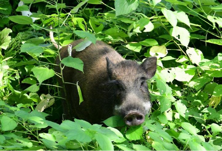 美国驻福冈领事馆附近出现野猪 大批警察奋力抓捕